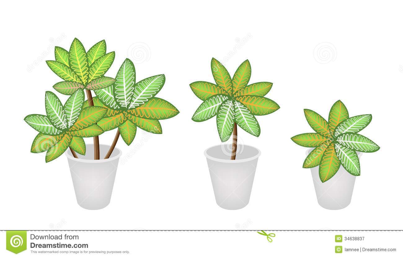 Ecological Concept An Illustration Of Dieffenbachia Picta Marianne