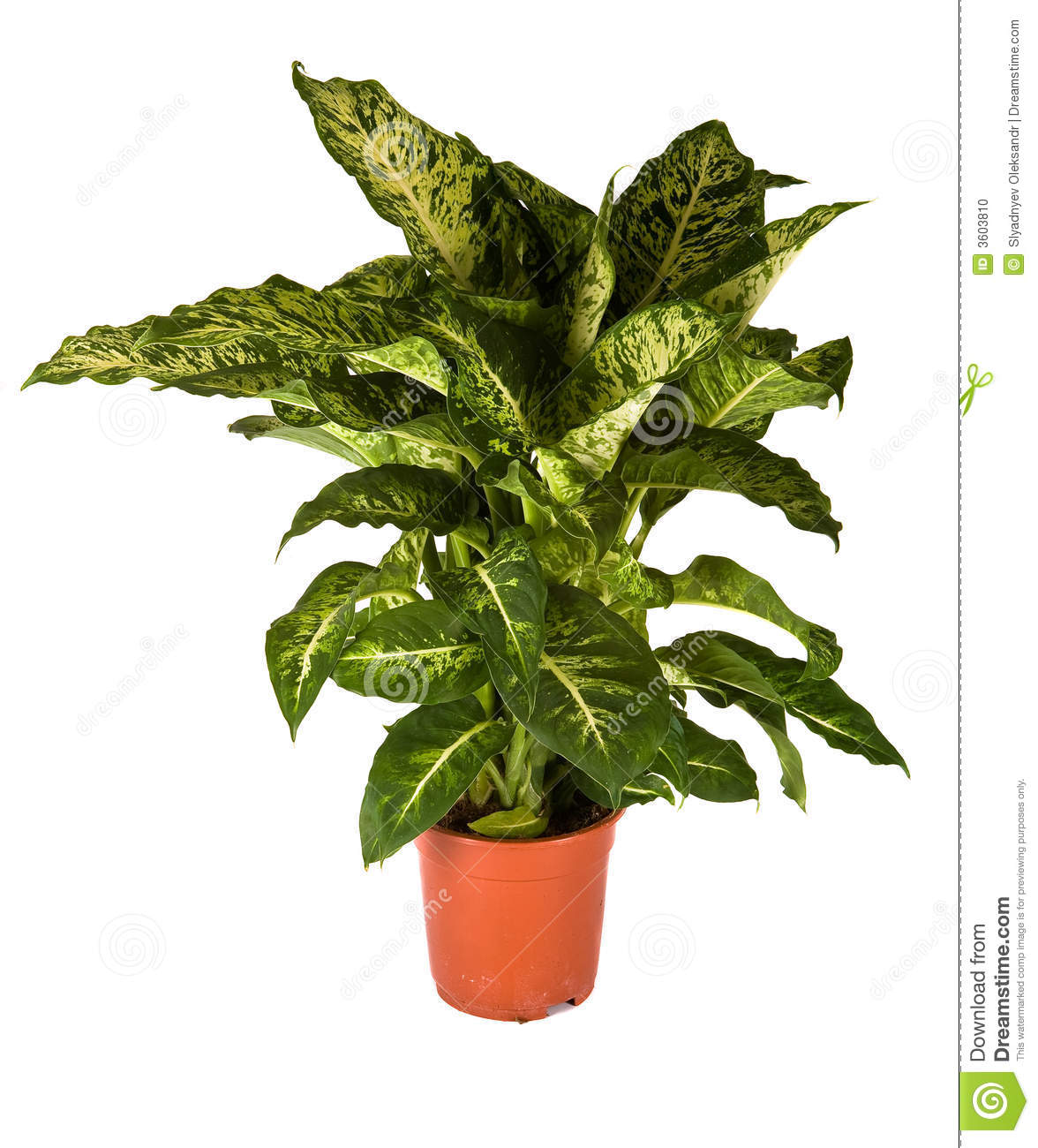Isolated Flower In Pot  Dieffenbachia Mars