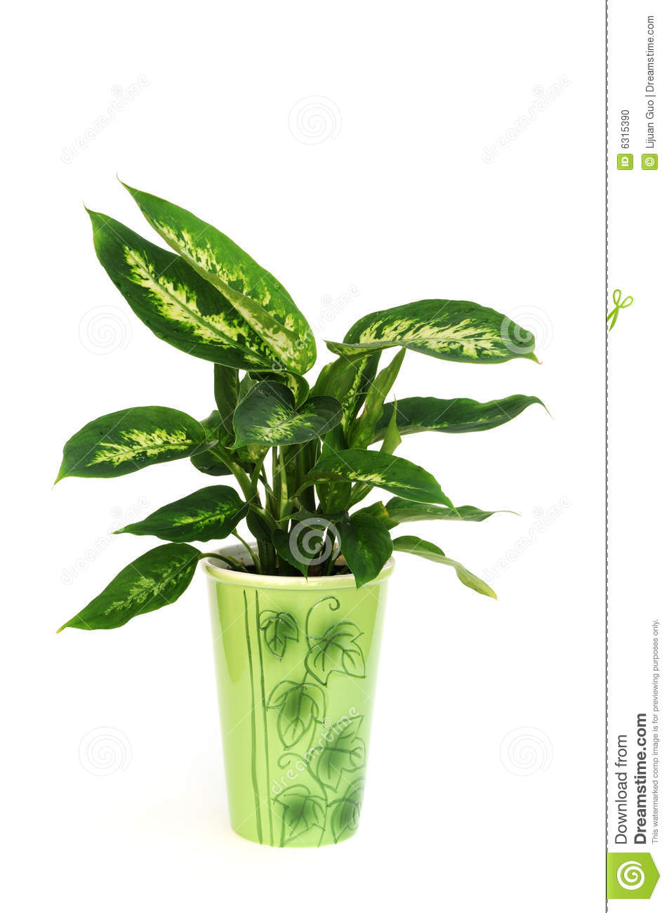 More Similar Stock Images Of   Dieffenbachia Plant In Pot Isolated On