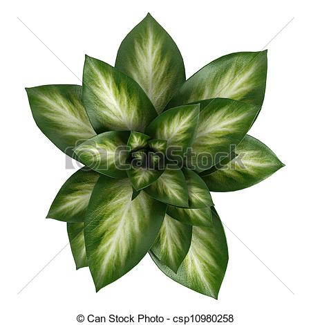 Stock Illustrations Of Variegated Dieffenbachia Leaves In A Tall
