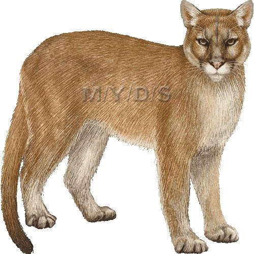 puma cougar clipart - clipart suggest  clipart