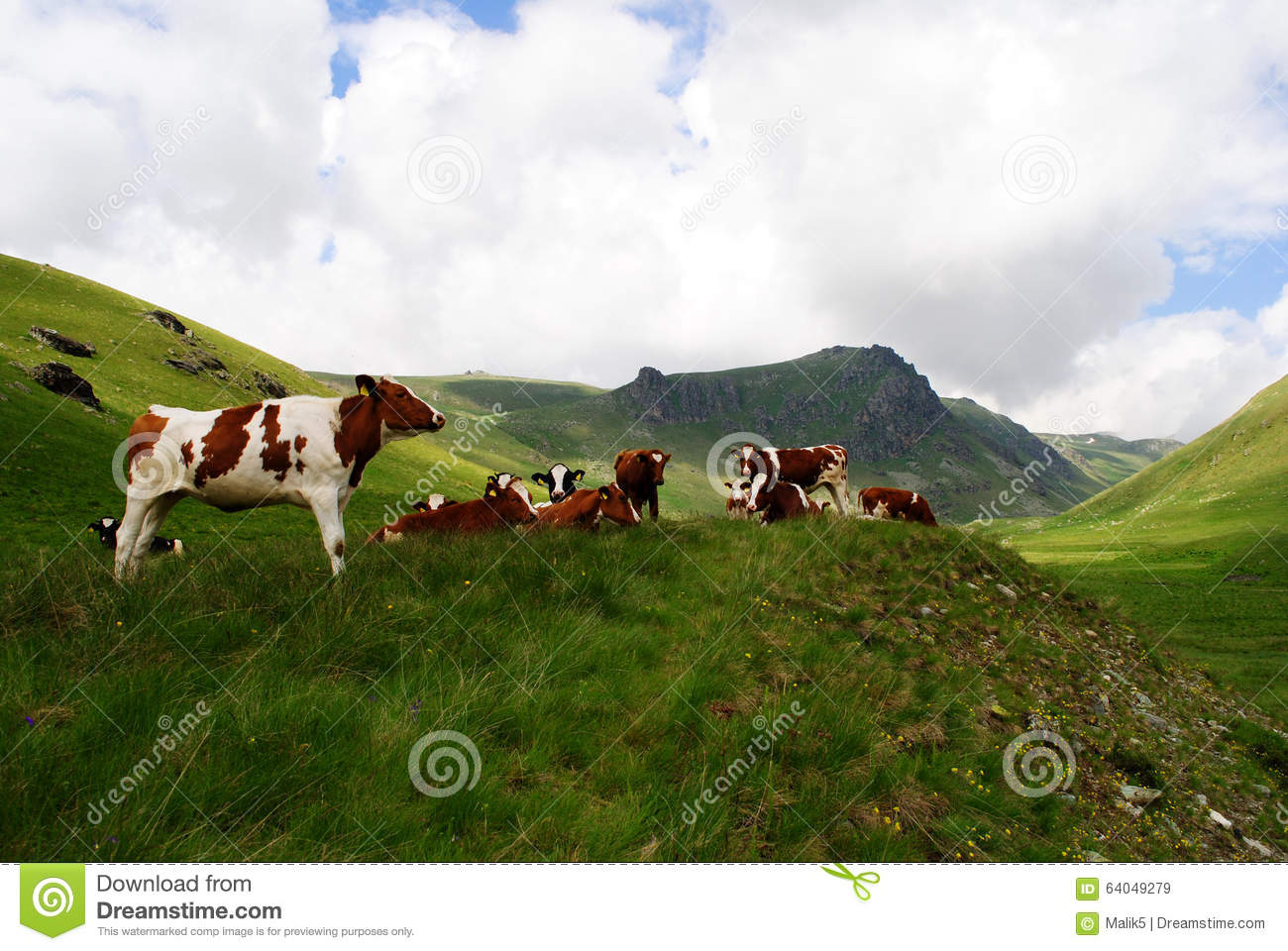 Dairy Mountain Cows Stock Photo   Image  64049279