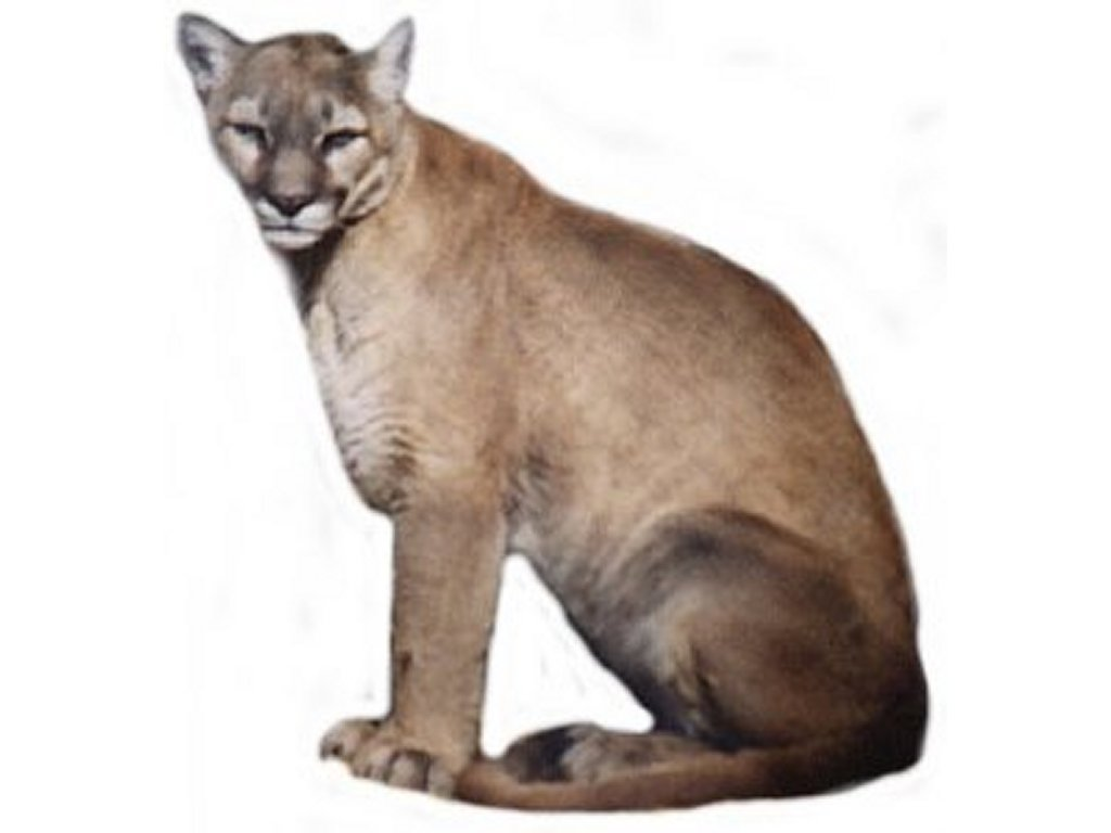 Free Cougar Clipart Pictures