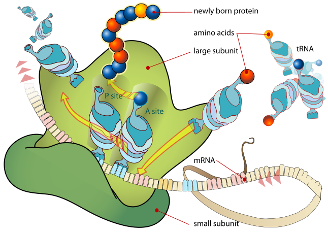 Ribosome Diagram   Clipart Best
