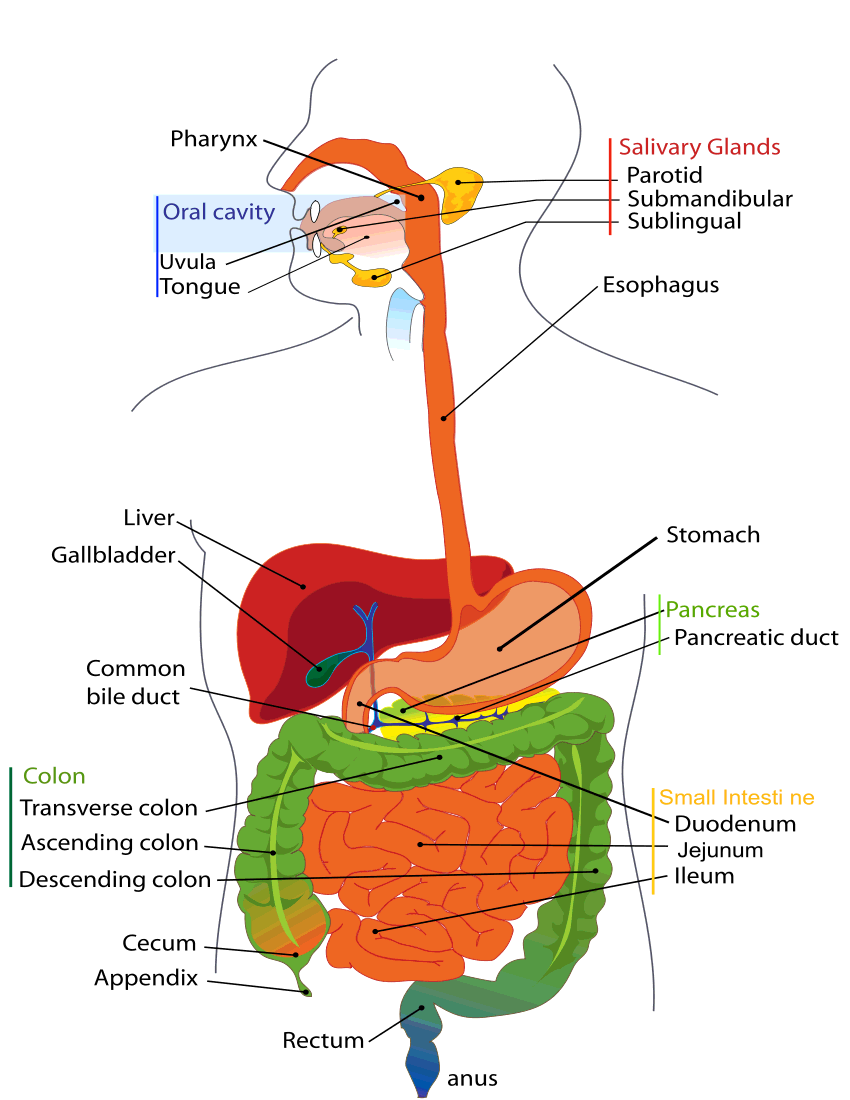 Share Digestive System Diagram Clipart With You Friends