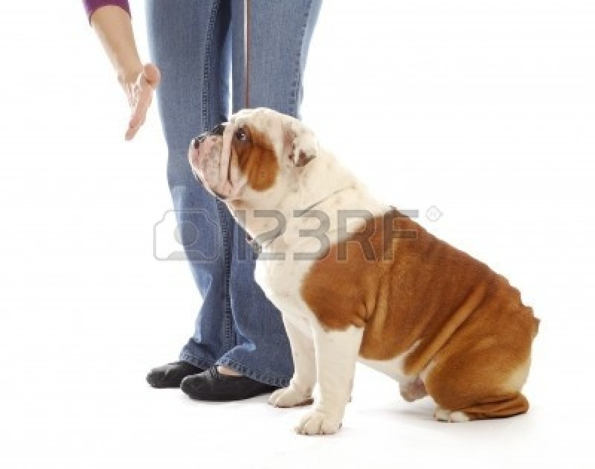 Obedience Training Dog Hand Of Person Giving The Stay Command Image