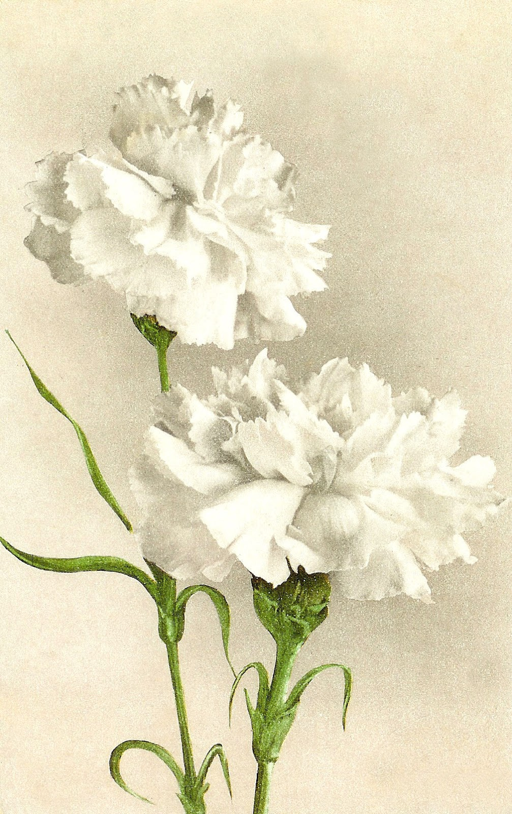 Images  Vintage Flower Clip Art  White Carnation On Vintage Postcard