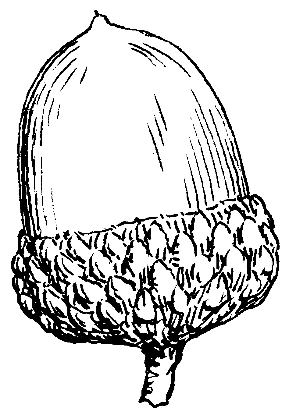 Acorn Black And... Harvest Clip Art Black And White