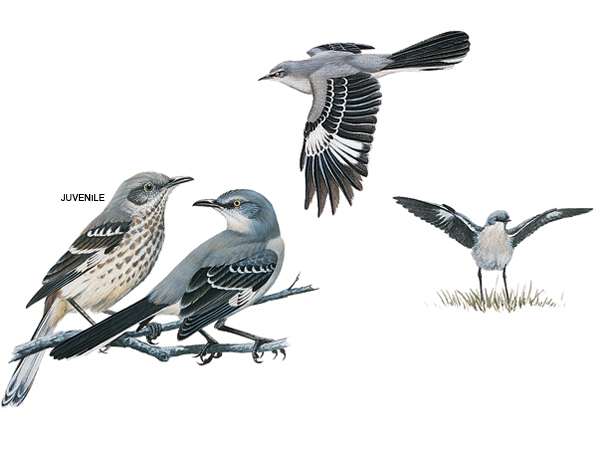 Mockingbird Pictures Northern Mockingbird Facts   National Geographic