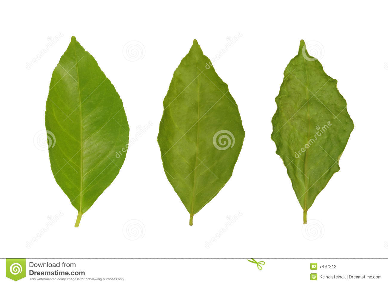 Withering Of Lemon Leaf Stock Photography   Image  7497212