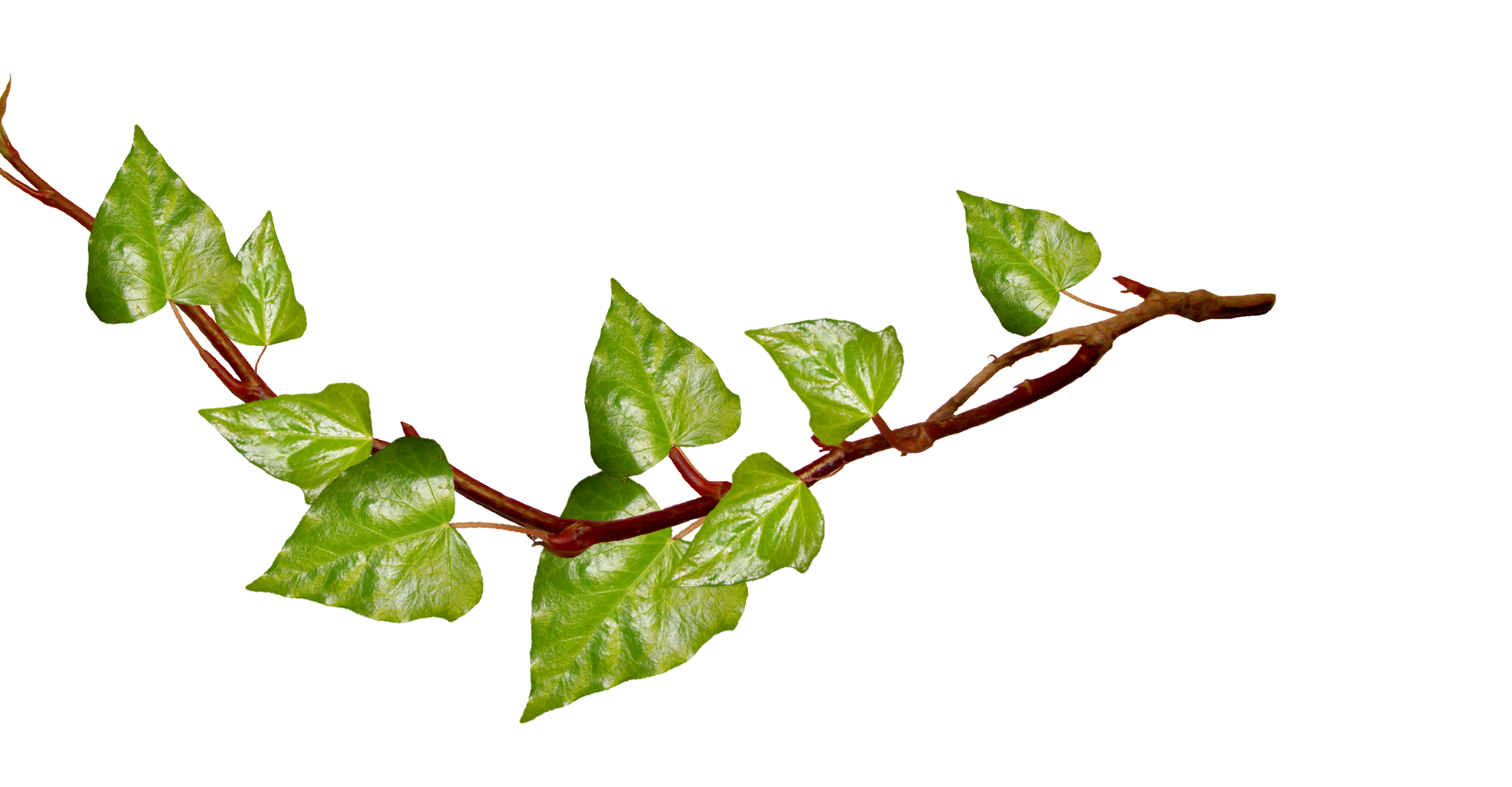 11 Ivy Png Free Cliparts That You Can Download To You Computer And Use