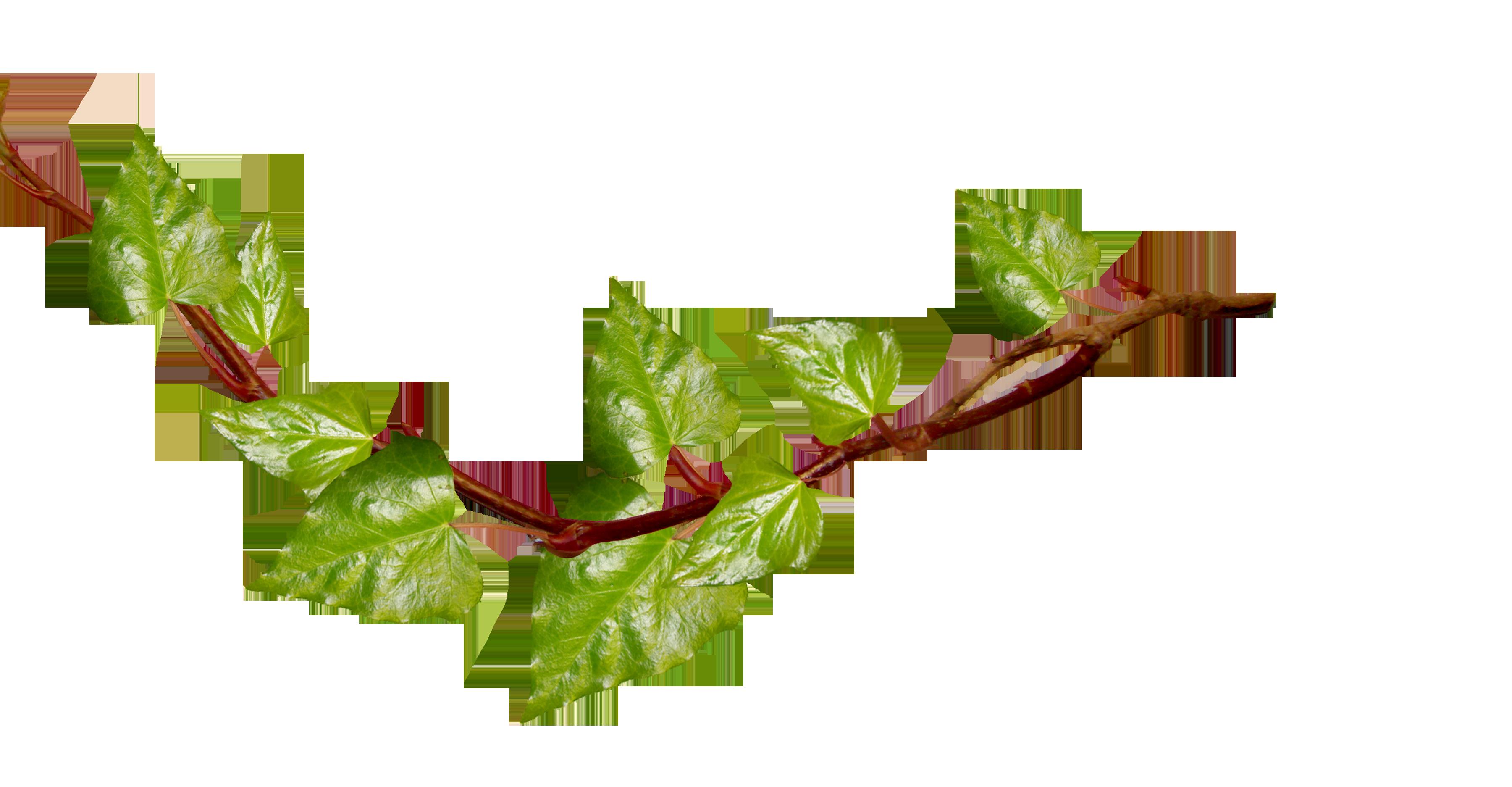 Ivy Leaf Vine Clipart - Clipart Kid