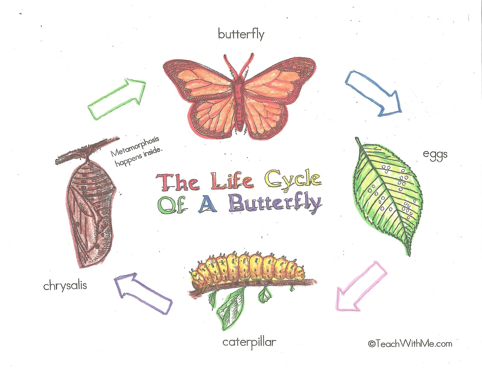 Charts Help Students Review Learn The Life Cycle Of The Butterfly