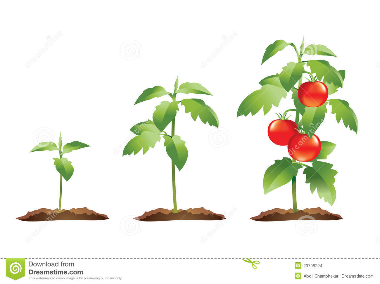 Stages Of Growth Of A Small Tomato Plant To A Fully Grown Plant