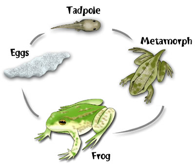 The Life Cycle Of A Frog    Room Twenty Seven