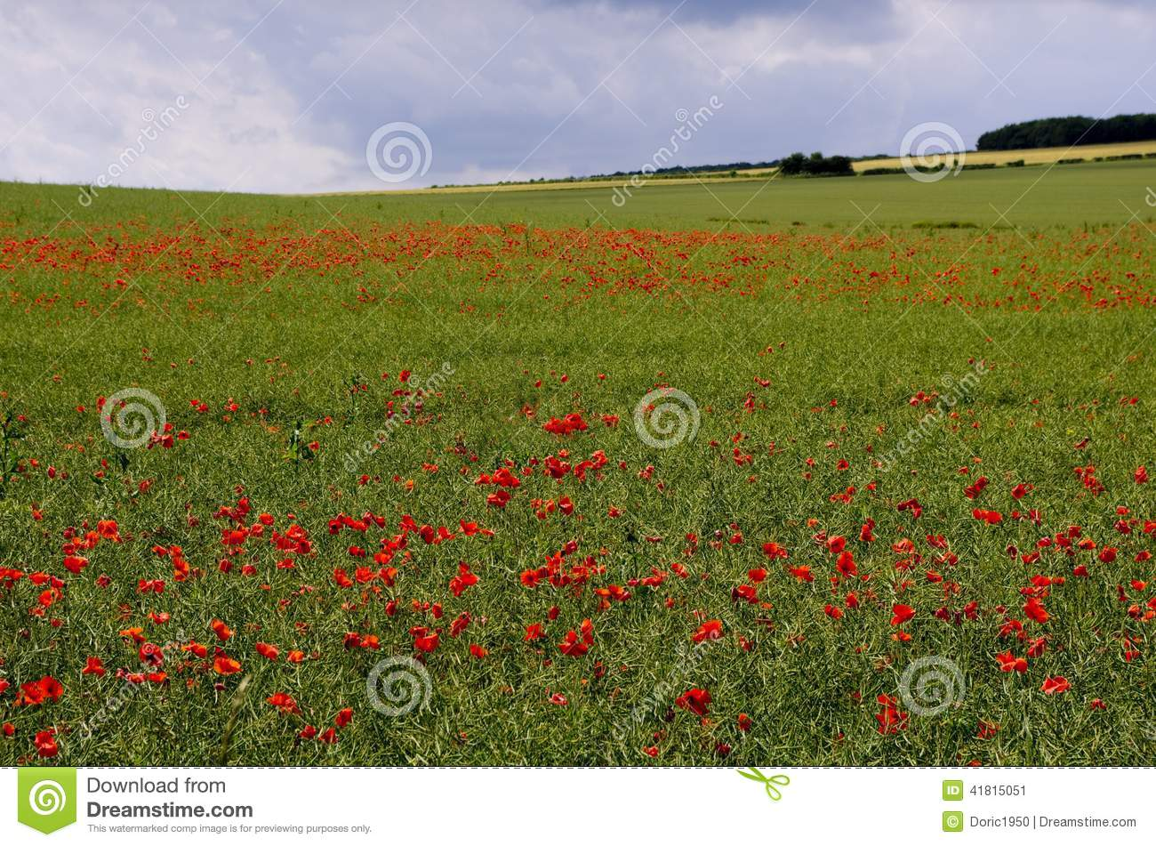 Image Of Red Poppies In An Oil Seed Rape Field The Rape Has Lost Its