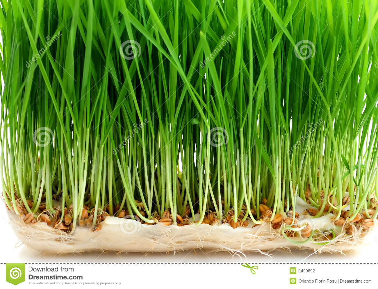 Seed Sprouting Stock Photography   Image  8499692