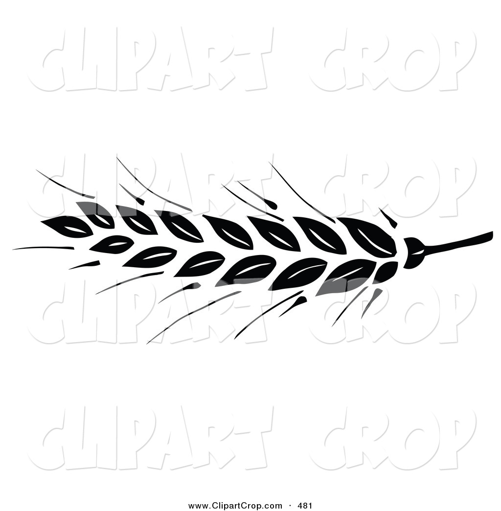 Black Wheat Head On The Tip Of A Stem On A White Background By C