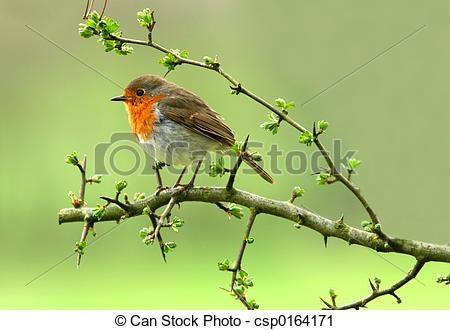 Robin Spring Clipart Stock Photo   The Robin