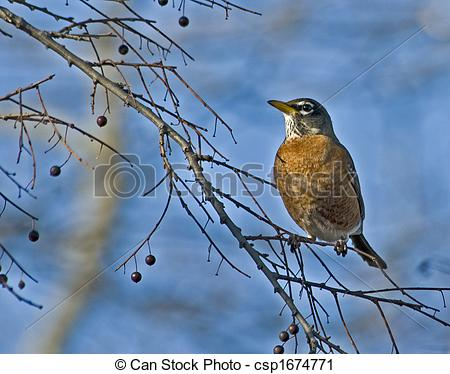 Spring Robin Clipart Stock Photo   Robin Waiting For Spring