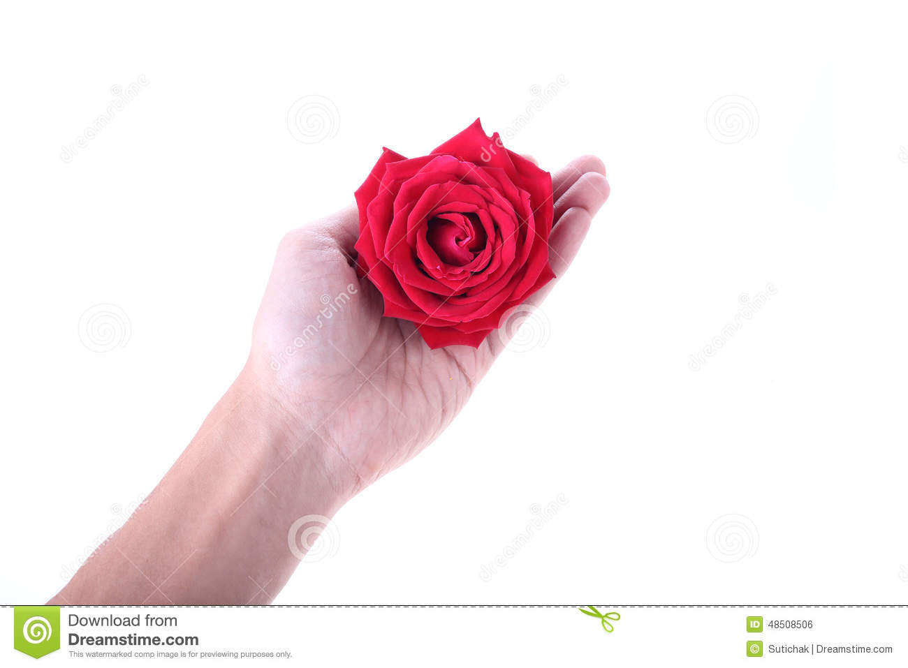 Hand Holding A Red Rose Flower Isolated On White Background