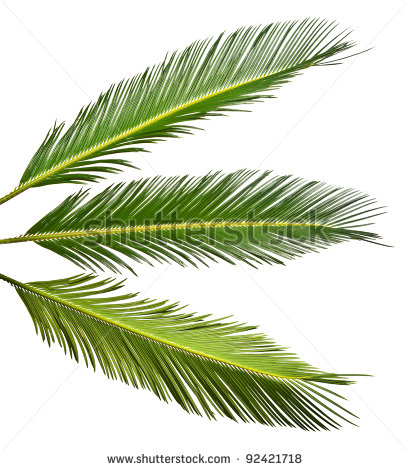 Palm Leaves Clipart Palm Leaf Stock Photos Illustration