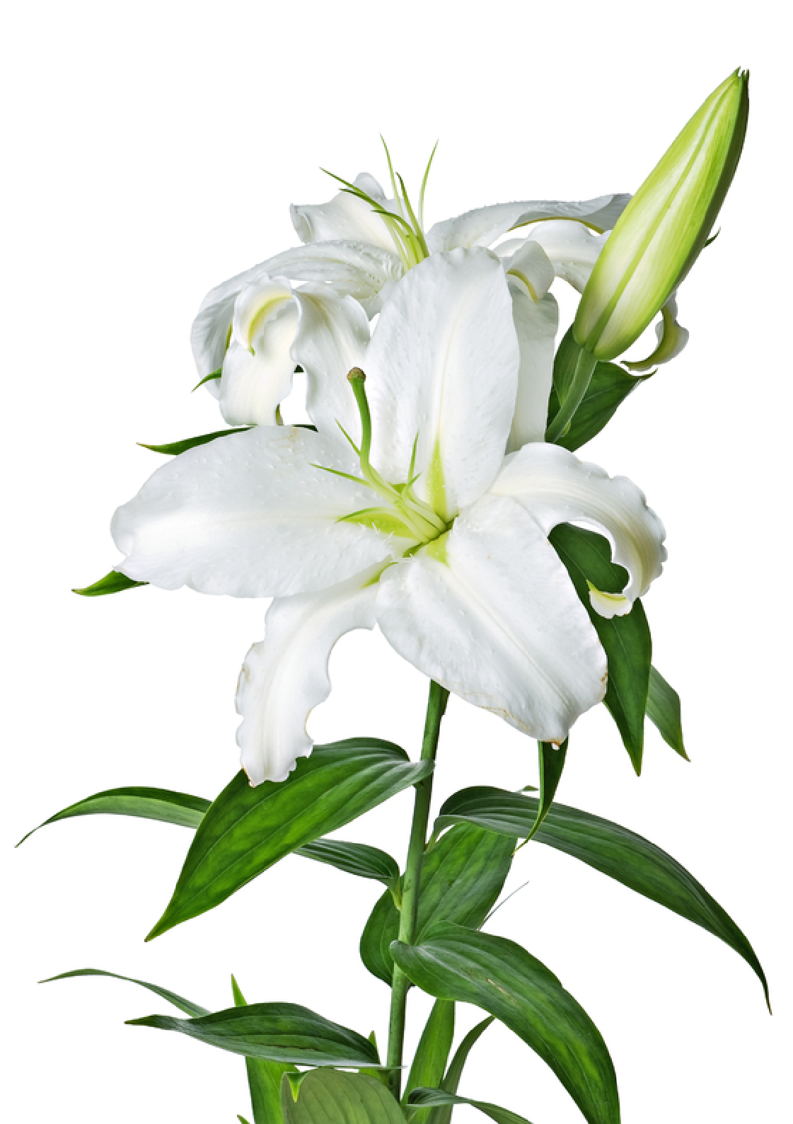 Lilys Site  White Lilies
