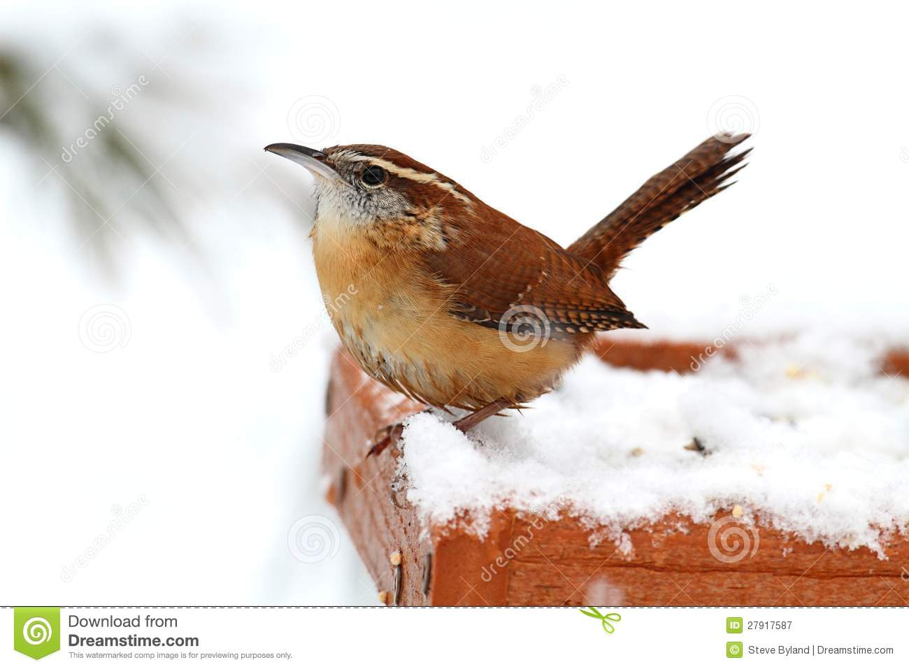 Carolina Wren In Winter Royalty Free Stock Photography   Image