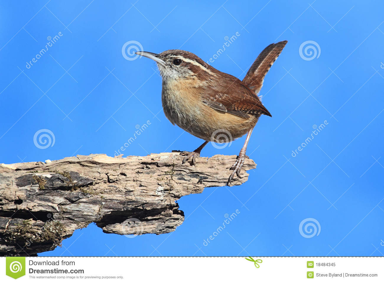 Carolina Wren  Thryothorus Ludovicianus  On A Tree Stump With A Blue