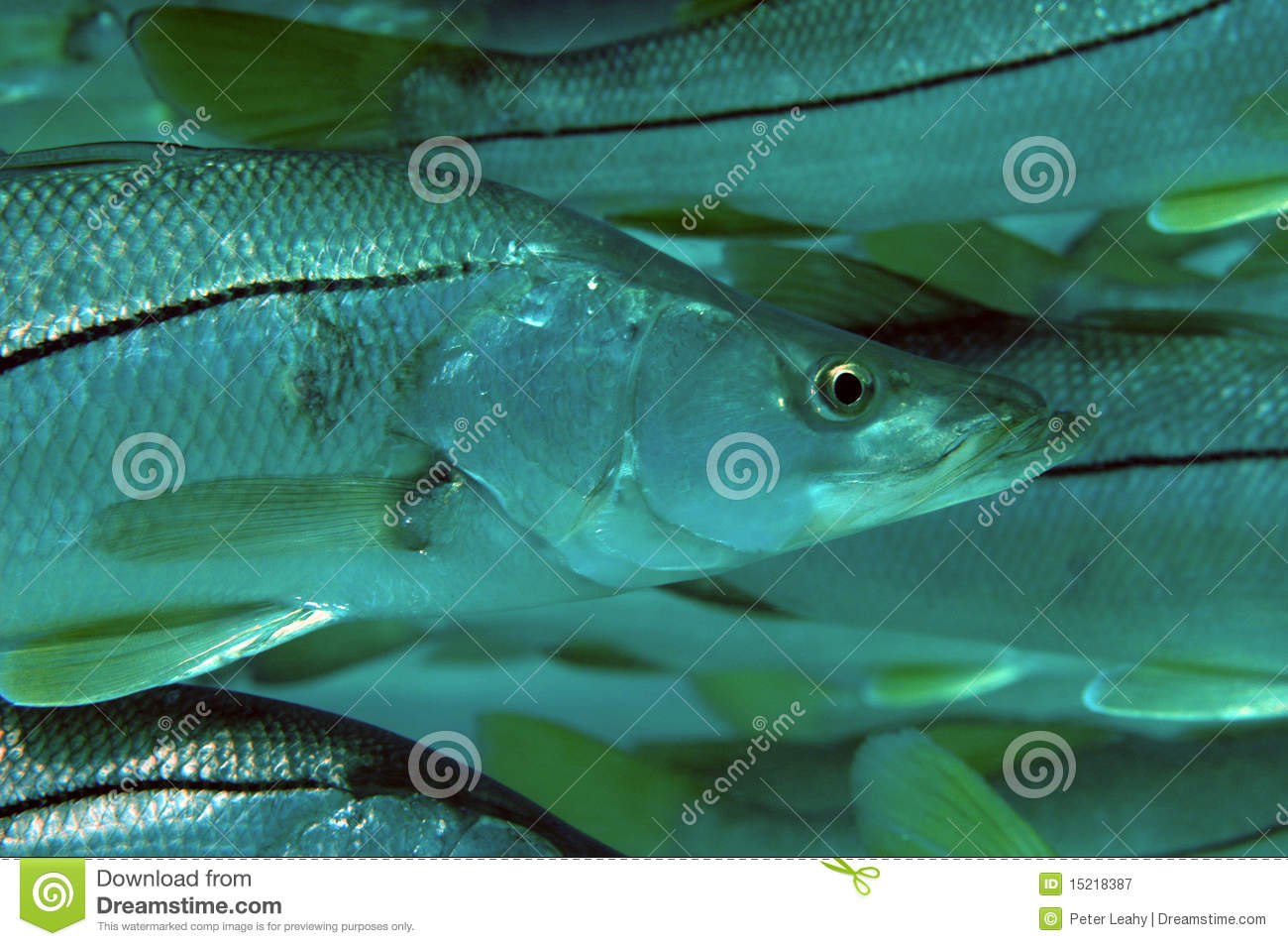 Common Snook Centropomus Undecimalis Royalty Free Stock Photography