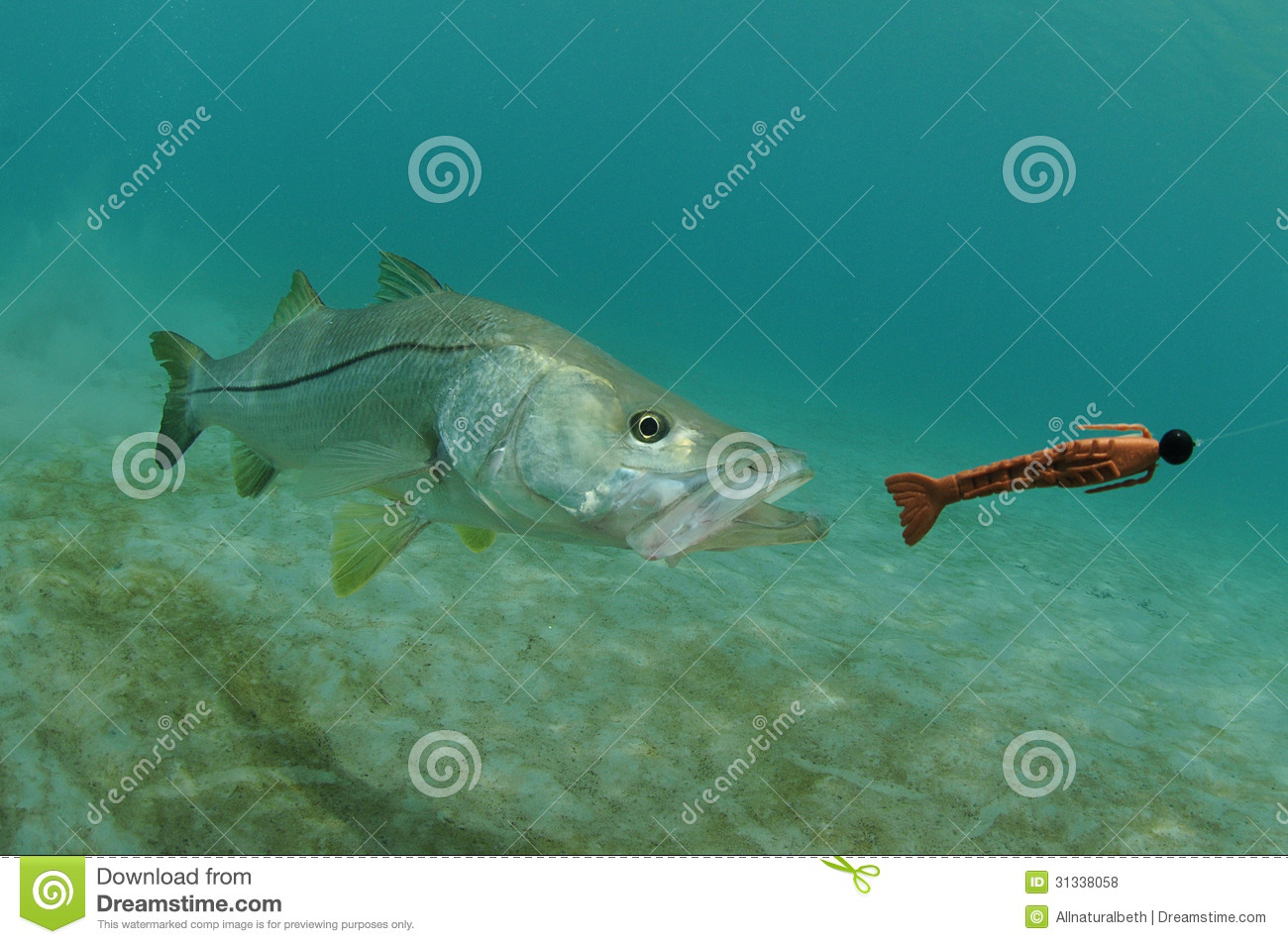 Royalty Free Stock Photos  Snook Fish Chasing Lure In Ocean