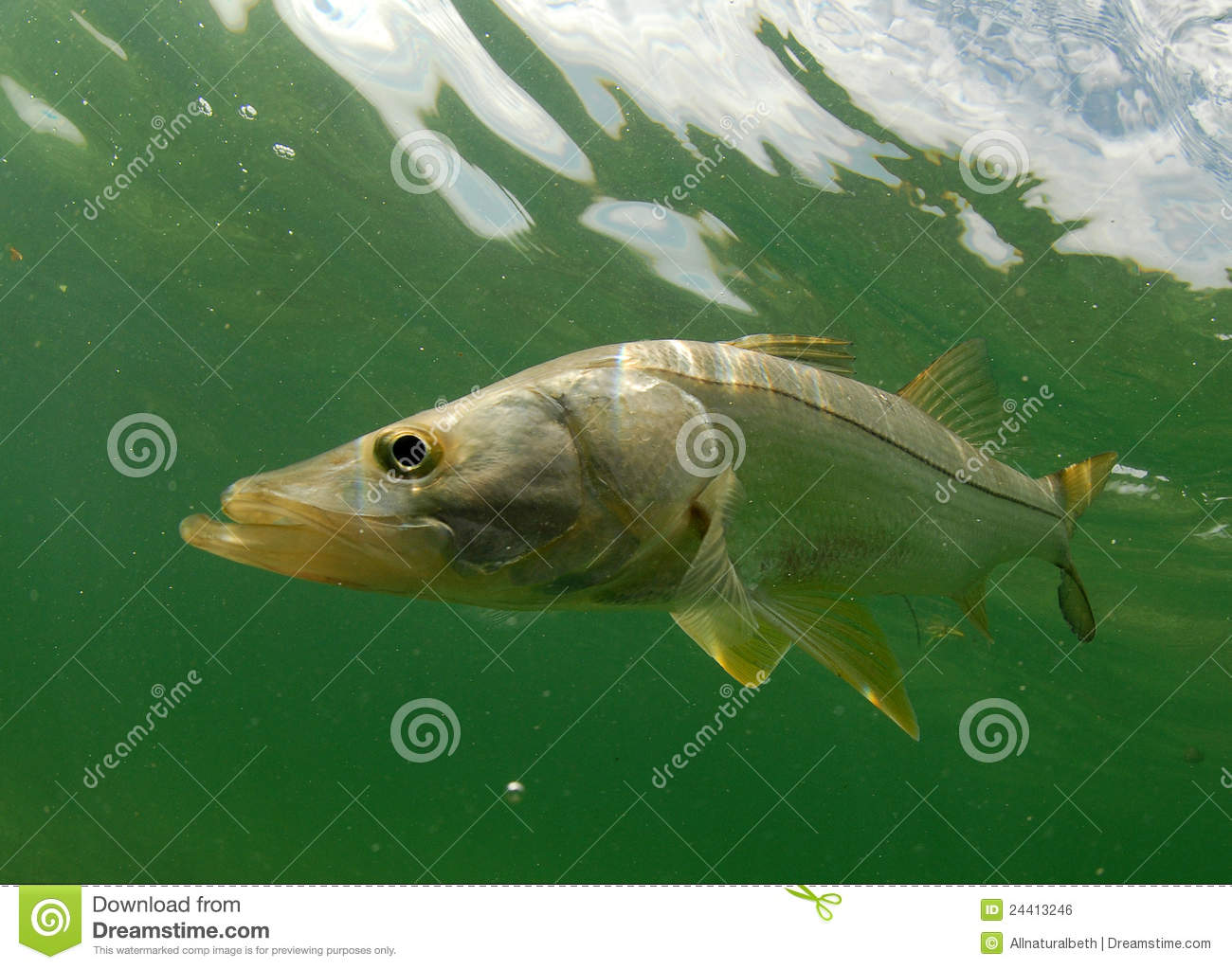 Snook Fish Swimming In The Atlantic Ocean Off The Coast Of Florida