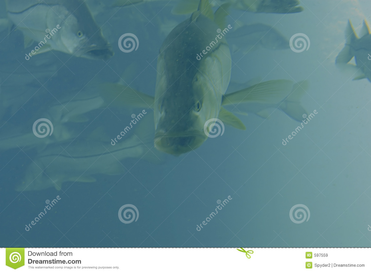 Snook Royalty Free Stock Images   Image  597559