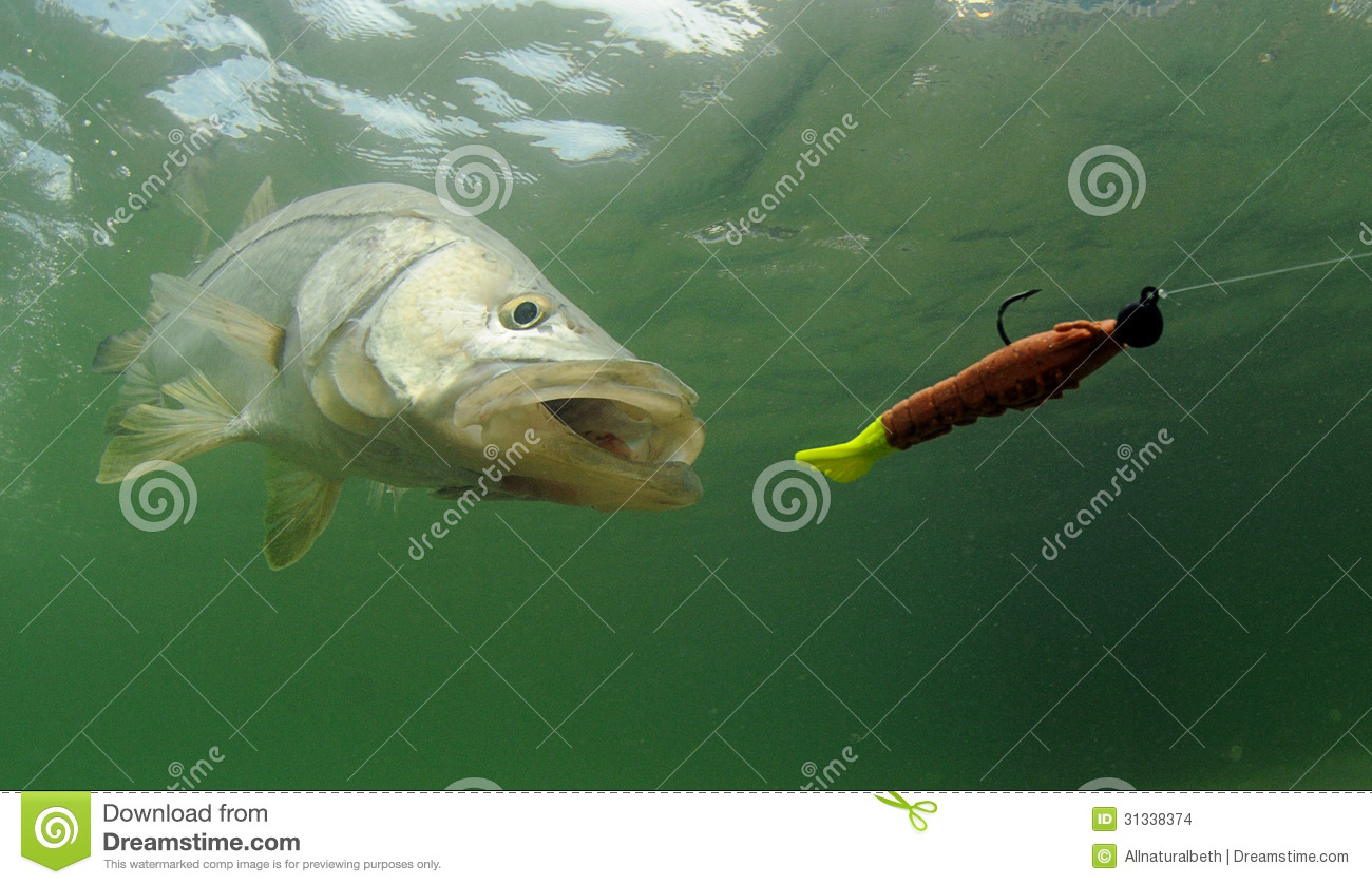 Stock Images  Snook Fish Chasing Lure  Image  31338374