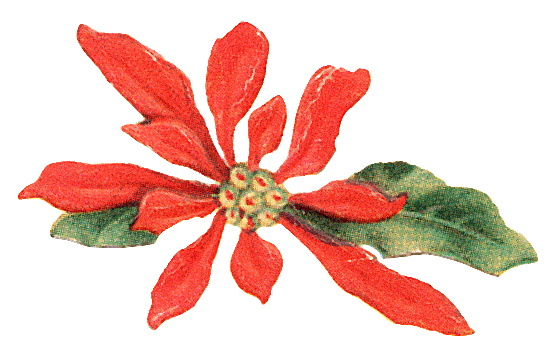 Christmas Poinsettia Clipart - Clipart Kid