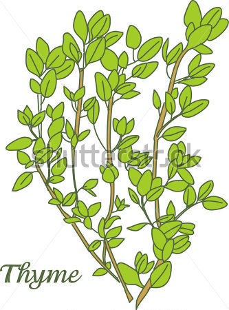 Thyme Herb Stock Vector   Clipart Me