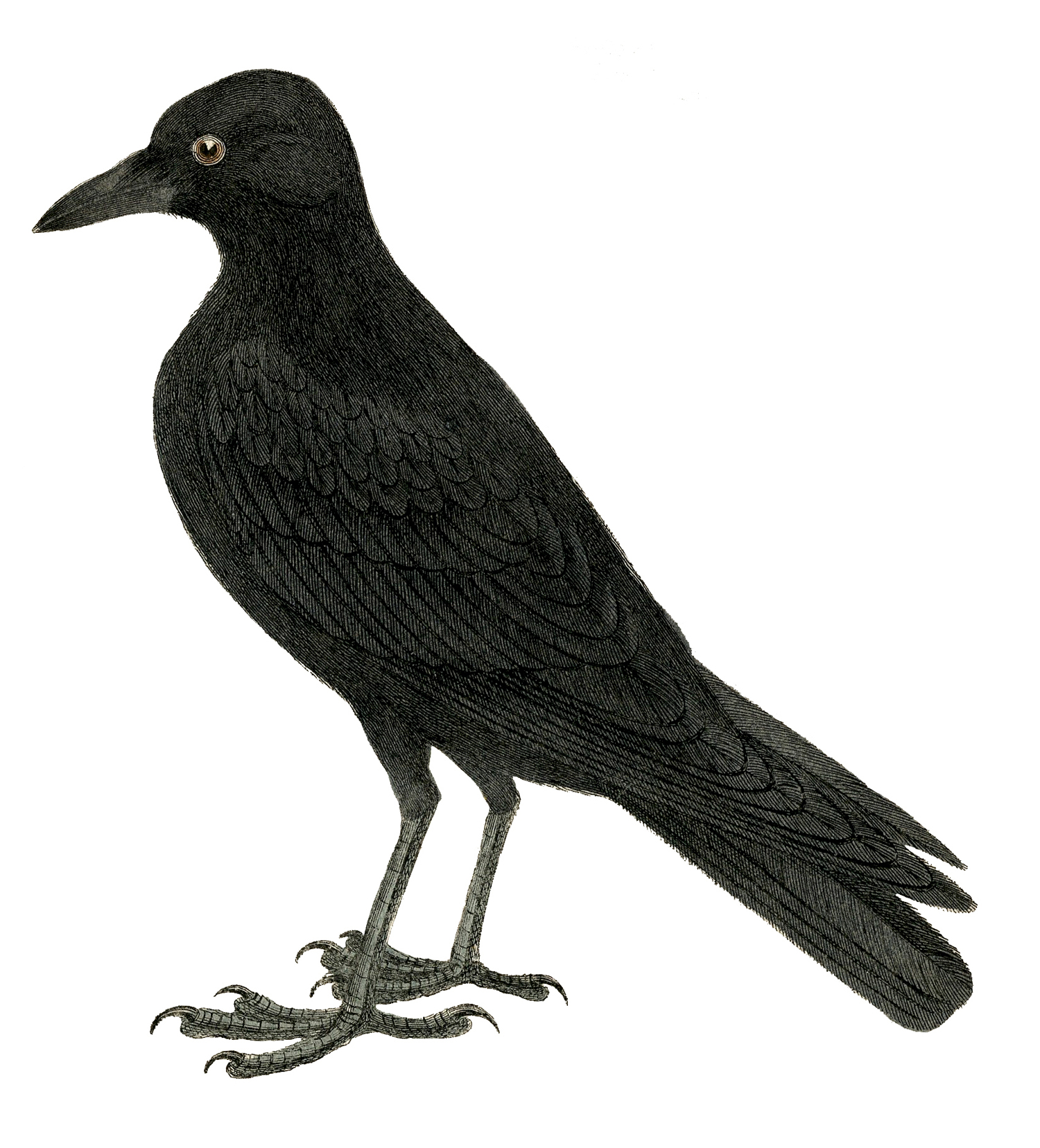 Halloween Crow Image Or Raven   The Graphics Fairy