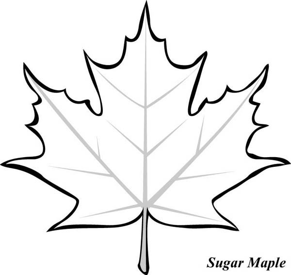 coloring page of a maple leaf sugar maple leaf clipart clipart suggest