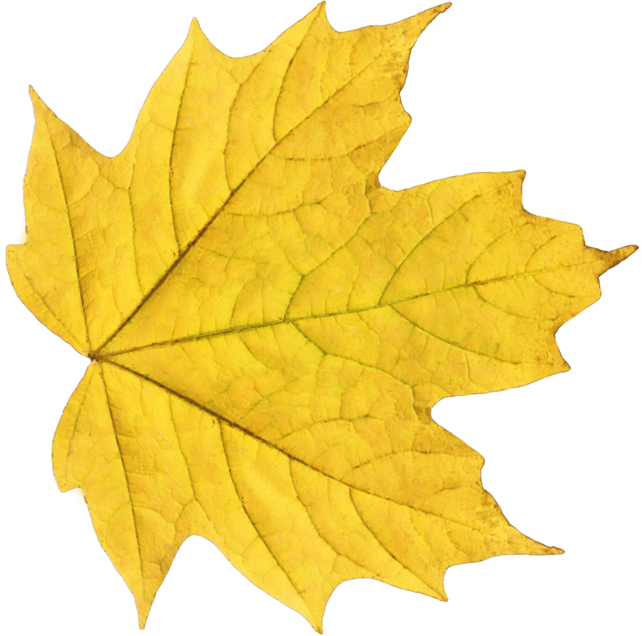 Download Png Image  Yellow Autumn Png Leaf