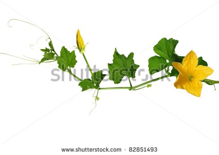 Pumpkin Stem Clipart Pumpkin S Stem From Flowers