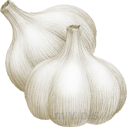 Garlics Allium Sativum Clipart Picture   Large