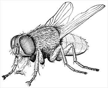 Free Housefly 2 Clipart   Free Clipart Graphics Images And Photos