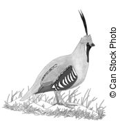 Mountain Quail   Male Oreortyx Pictus Pencil Drawing