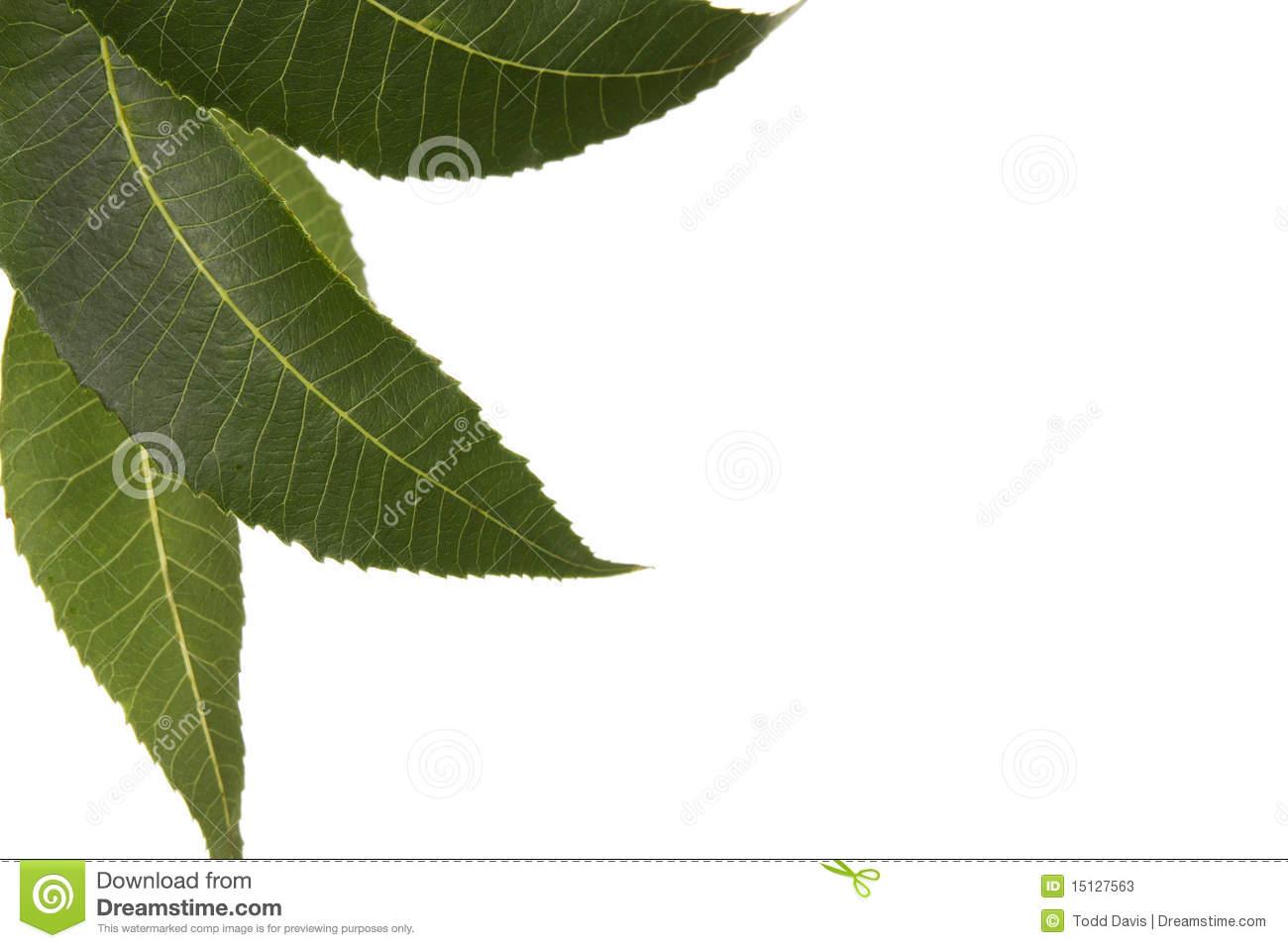 Three Carya Illinoensis Pecan Leaves Isolated Stock Photos   Image