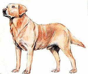 Free Labrador Retriever Clipart   Free Clipart Graphics Images And