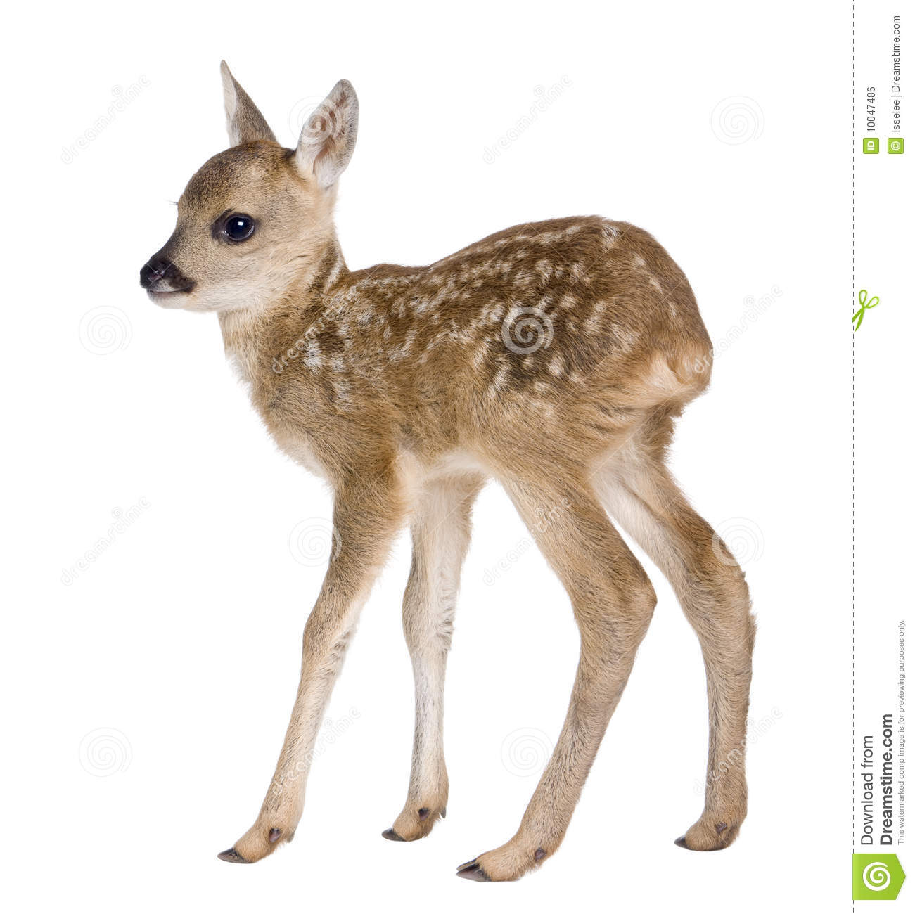 Royalty Free Stock Image  Roe Deer Fawn   Capreolus Capreolus  15 Days