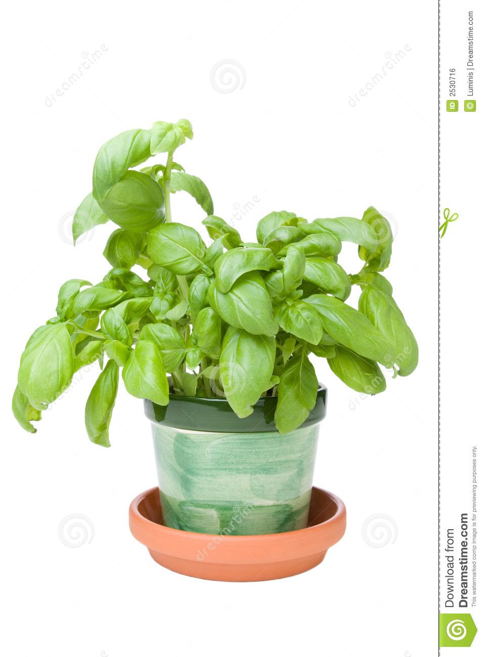 Basil Herb Royalty Free Stock Image   Image  2530716