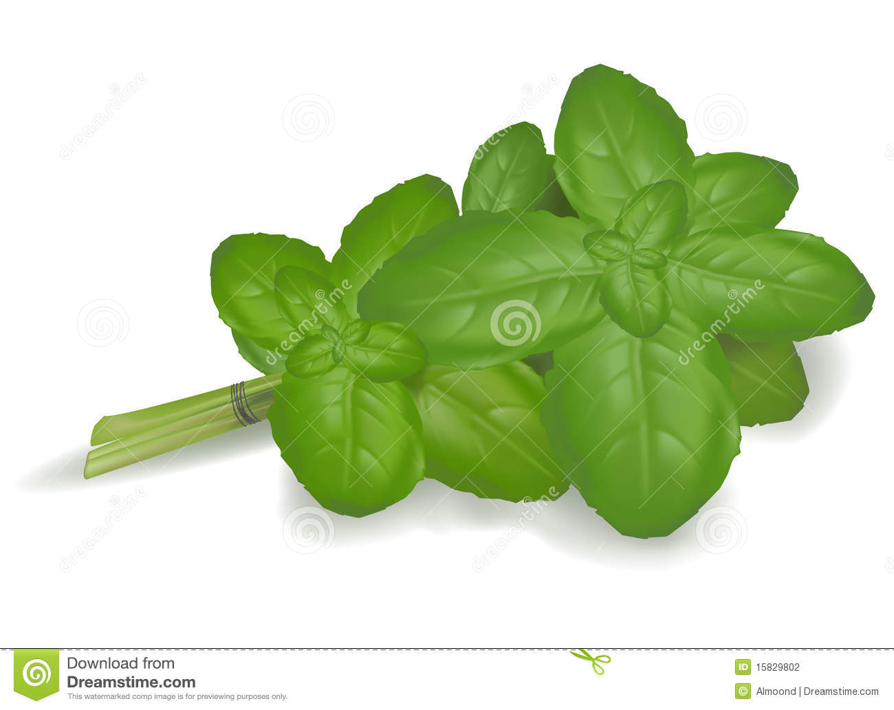 Basil Leaves  Vector  Stock Photography   Image  15829802