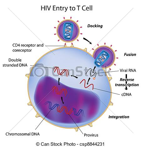 Hiv Entry And Integration Into T Cell    Csp8844231   Search Clipart