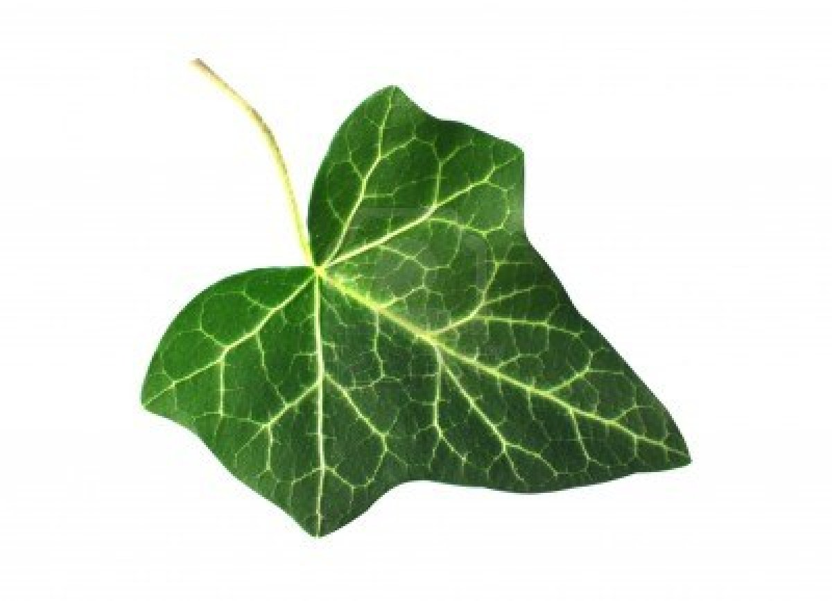 Displaying 18  Images For   Ivy Leaf